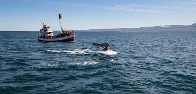 Touroperador para ver ballenas en Islandia