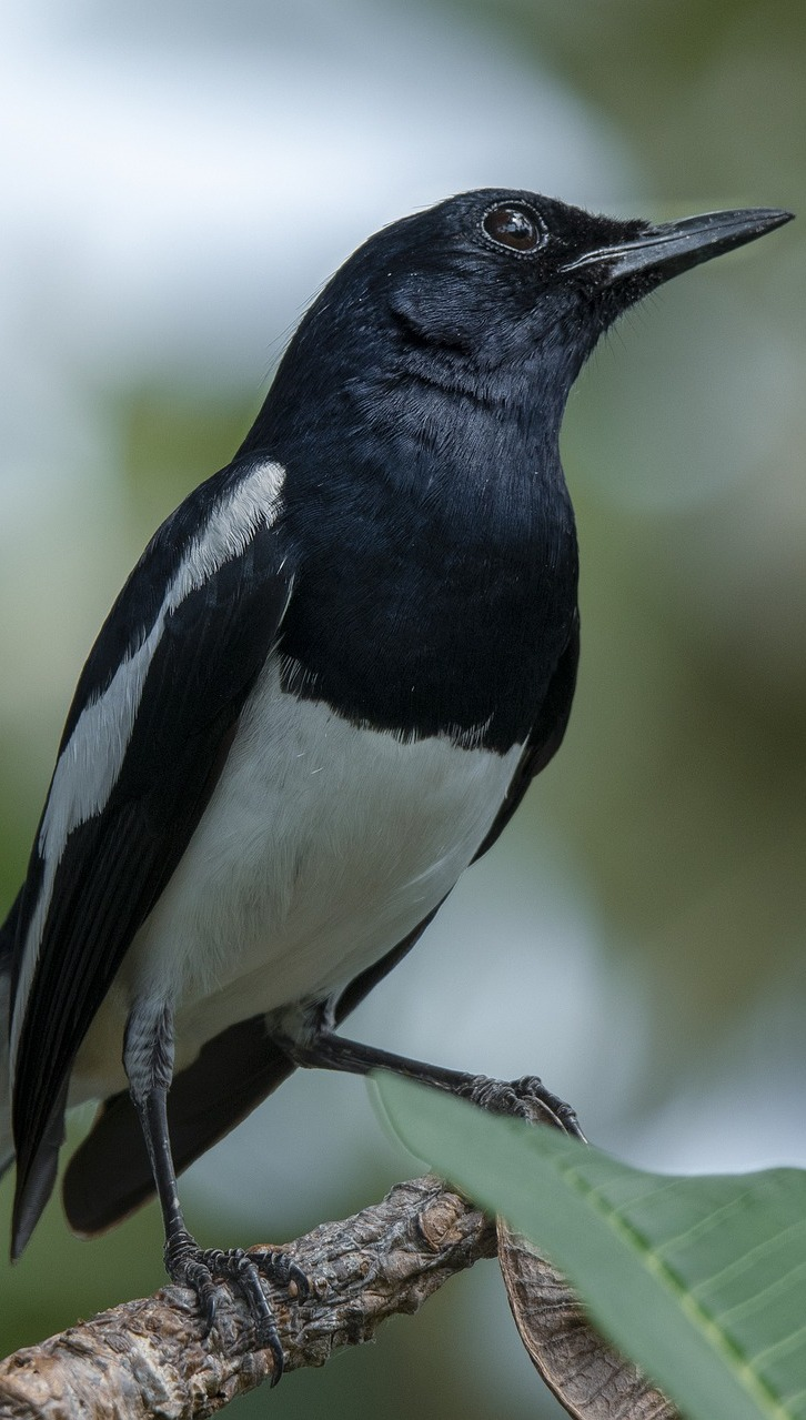 Photo of oriental magpie-robin.