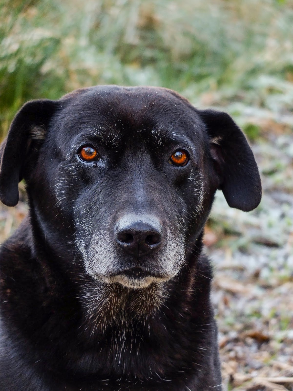 A black Labrador Judy looking straight at the camera with her chestnut eyes.