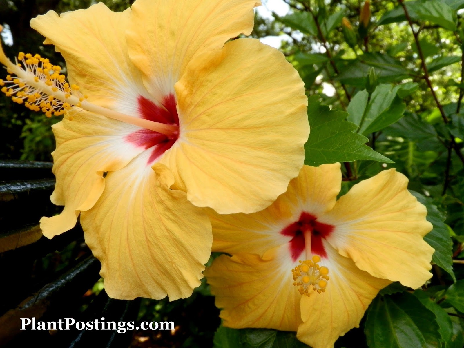 Plantpostings Plant Of The Month Hibiscus