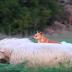 Se supone que el perro cuida ovejas, y su método te dejara llorando de risa