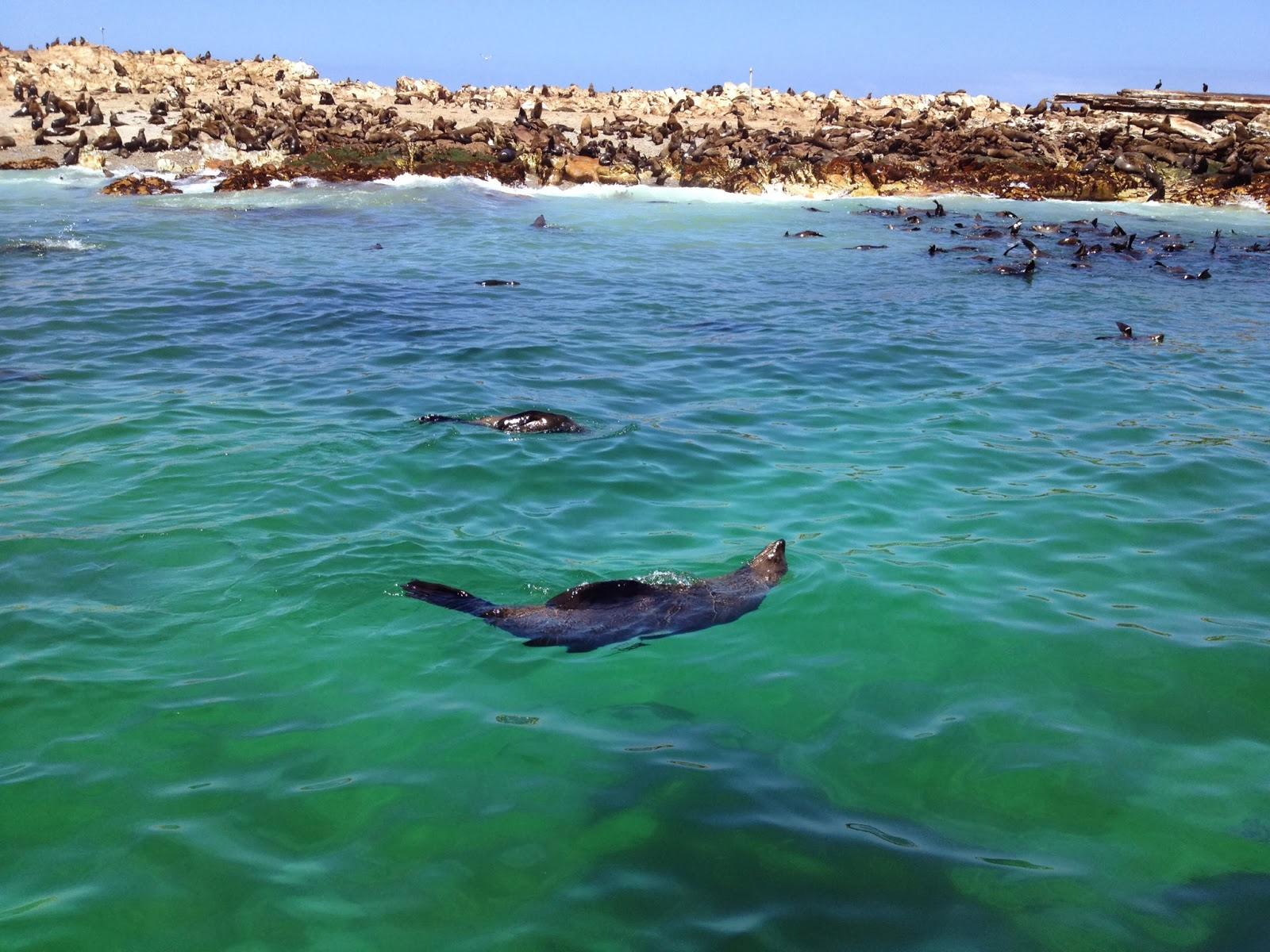 Kleinbaai - We saw fur seals on our way back to shore