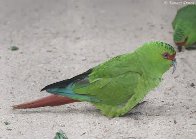 Slender billed parakeet
