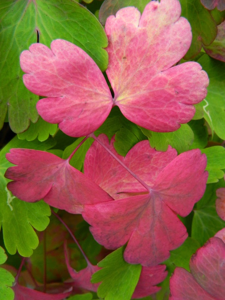 Fall columbine leaves by garden muses-not another Toronto gardening blog