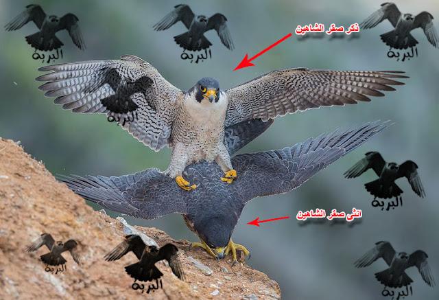 كيف تعرف عمر الصقر ( الطير ) و جنسه بالصور