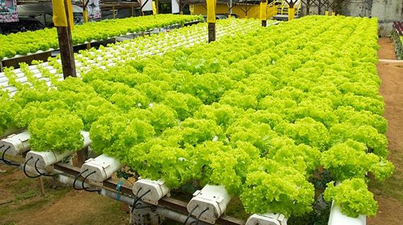 Hidroponik Solusi Pertanian Masa Depan Pengertian Hidroponik