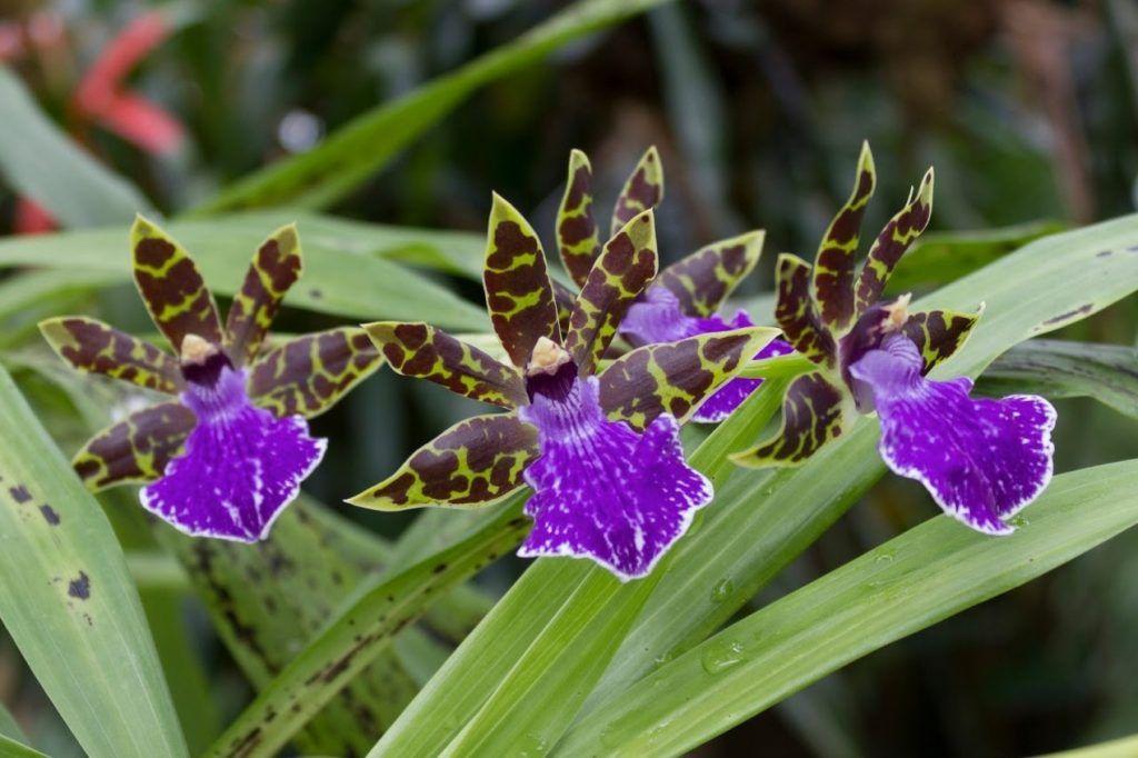 Zygopetalum Orchid-Summer Flowers