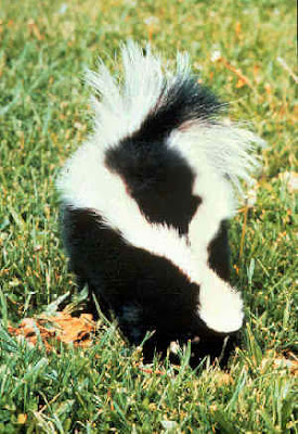 skunk smell removal recipe stink hunting wash scent skunked