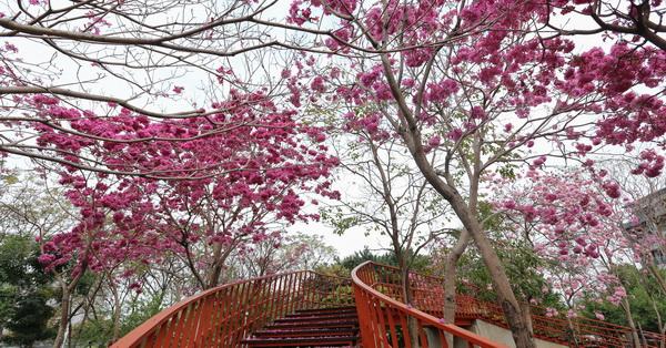 台中北屯|三甲公園|洋紅風鈴木|還能走天空之橋賞花
