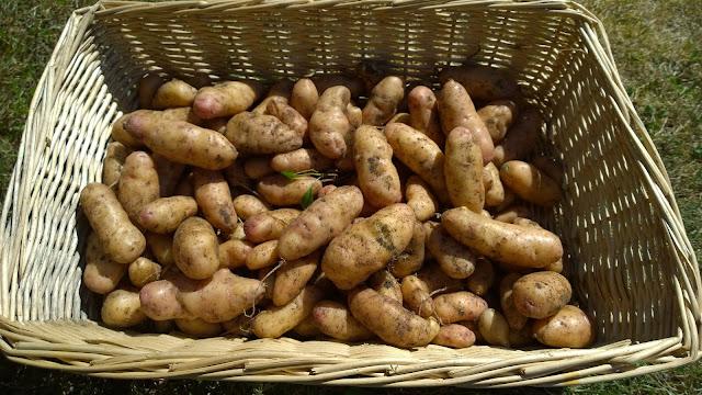 Kartoffel Rosa Tannenzapfen (c) by Joachim Wenk
