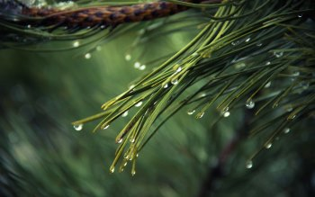Wallpaper: Pines Tree with Rain Drops