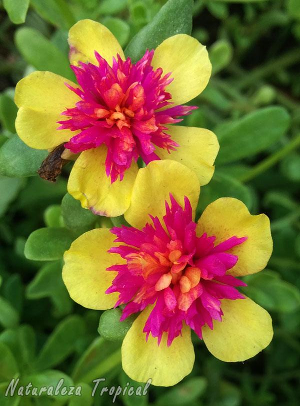Flores dobles o moñudas de una Verdolaga, Portulaca oleracea