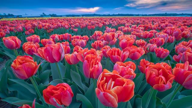 fiori, fiori rossi,