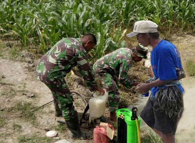 Babinsa Serda Sutrisno Melaksanakan Pemupukan Tanaman Jagung di Desa Suka Maju