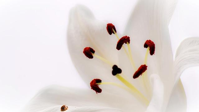 Fleur de Lys - Les Mousquetettes