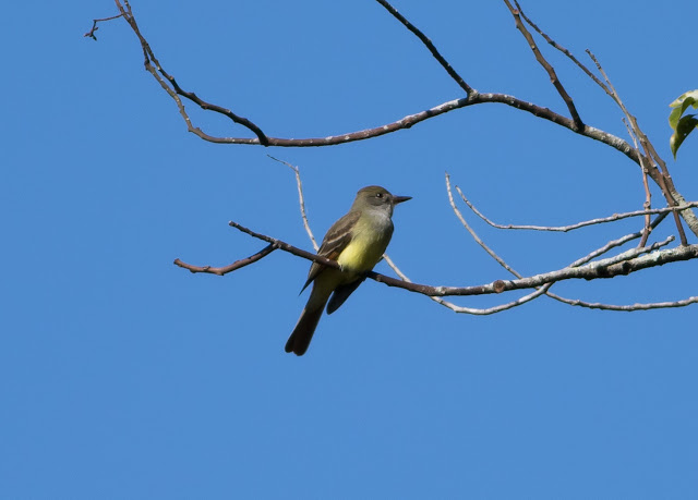 Great Crested Flycatcher - Mead Botanical Garden, Florida
