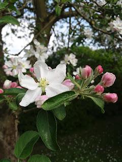 æbleblomster