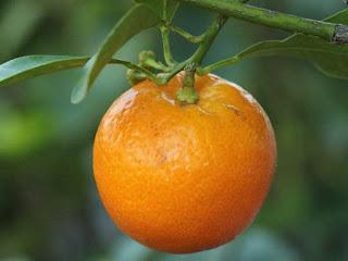 citrofortunella fruit images