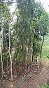 Jual pohon gelodogan tiang