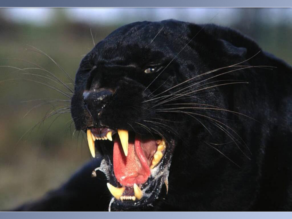 Animal Noir Panthers Fun Animals Wiki Videos Pictures Stories
