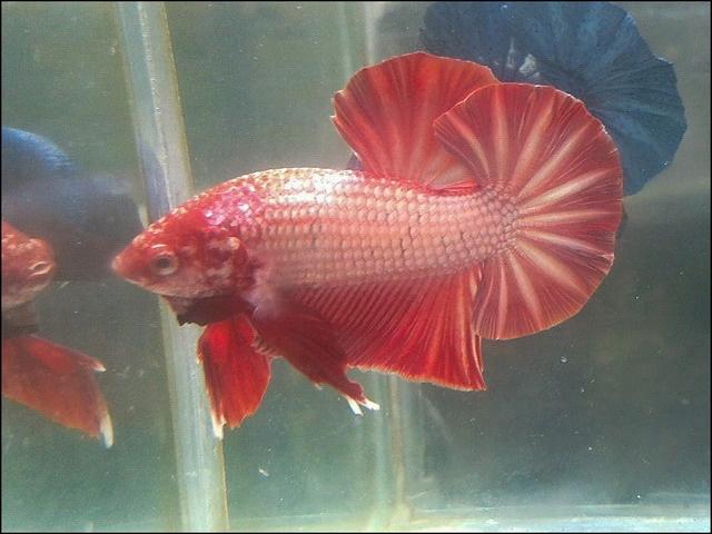 Gambar Gigi Ikan Cupang