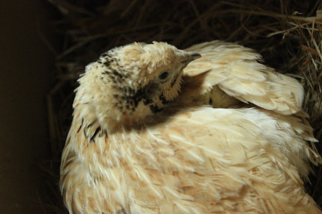 Coturnix quail and her chicks - organically riased