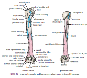 Human Medecine: Humerus-Fractures of the Proximal End of ...