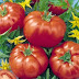 When Should You Sow Tomato Seeds?