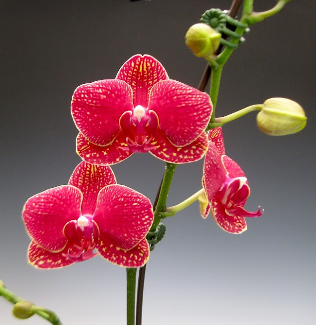 hoa lan hồ điệp đẹp 10