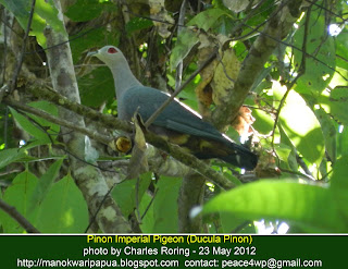 Pinon Imperial Pigeon can be watched by visitors in lowland forest of Manokwari, the capital of Papua Barat province in Indonesia.