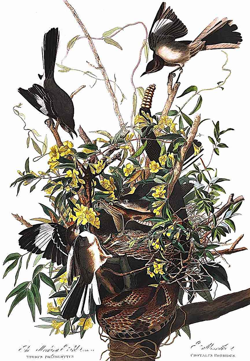 a 1900 nature illustration, birds fighting a snake in the nest