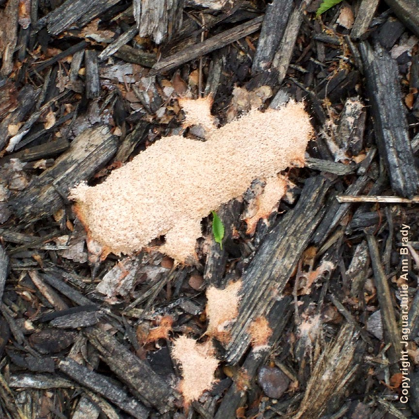 Another Pink Slime Mold Found in My Front Yard Garden