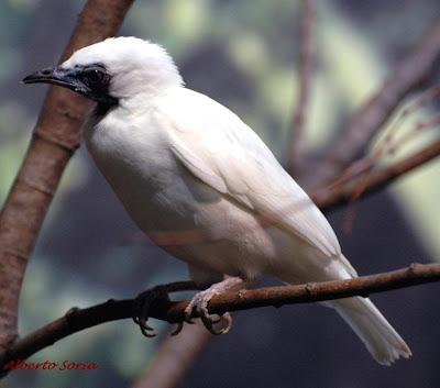 Pájaro campana Procnias nudicollis