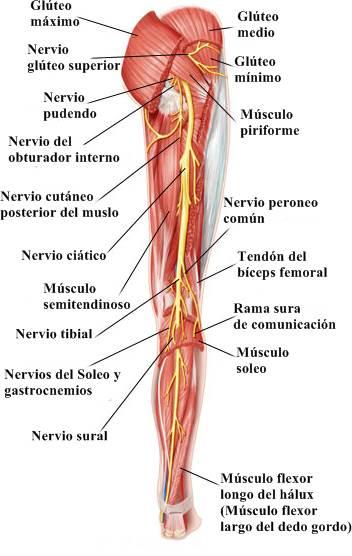Nervios espinales pierna miembro inferior