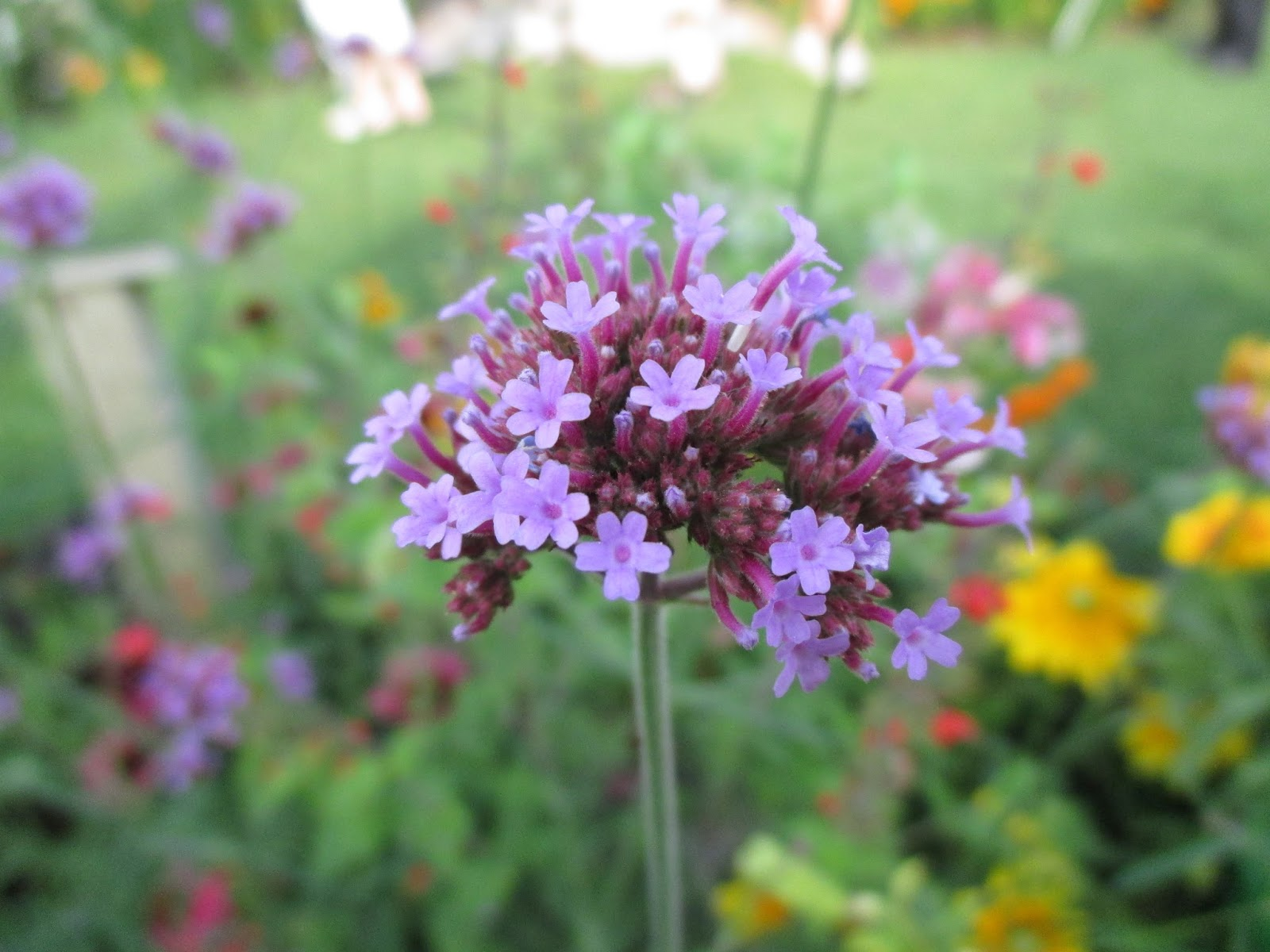 Look For The Meteor Shower (Verbena)! - Rotary Botanical Gardens