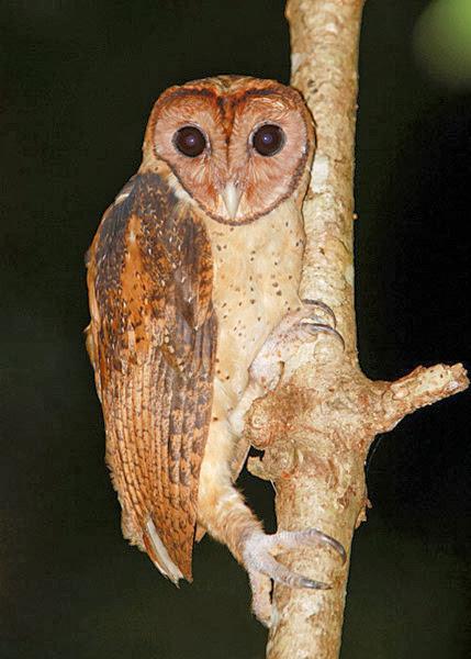 merupakan salah satu spesies burung hantu endemik Indonesia yang hidup di Sulawesi Mengenal Burung Hantu Serak Minahasa