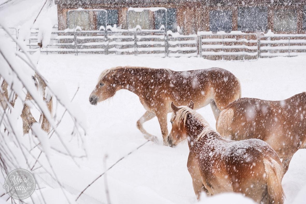 Winterbilder: Pferde im Schnee.