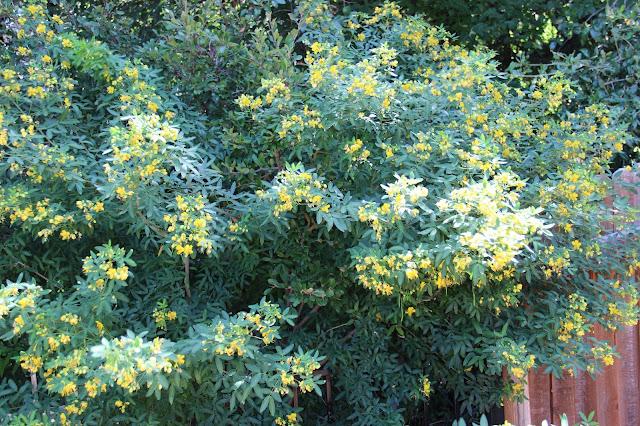 Flowering Senna