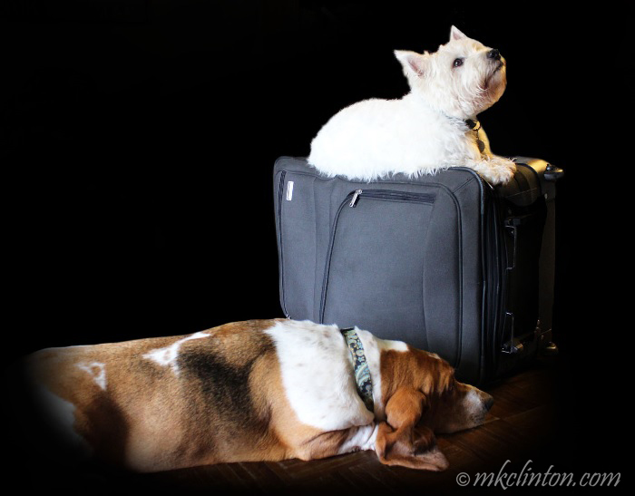 Basset and Westie on suitcase