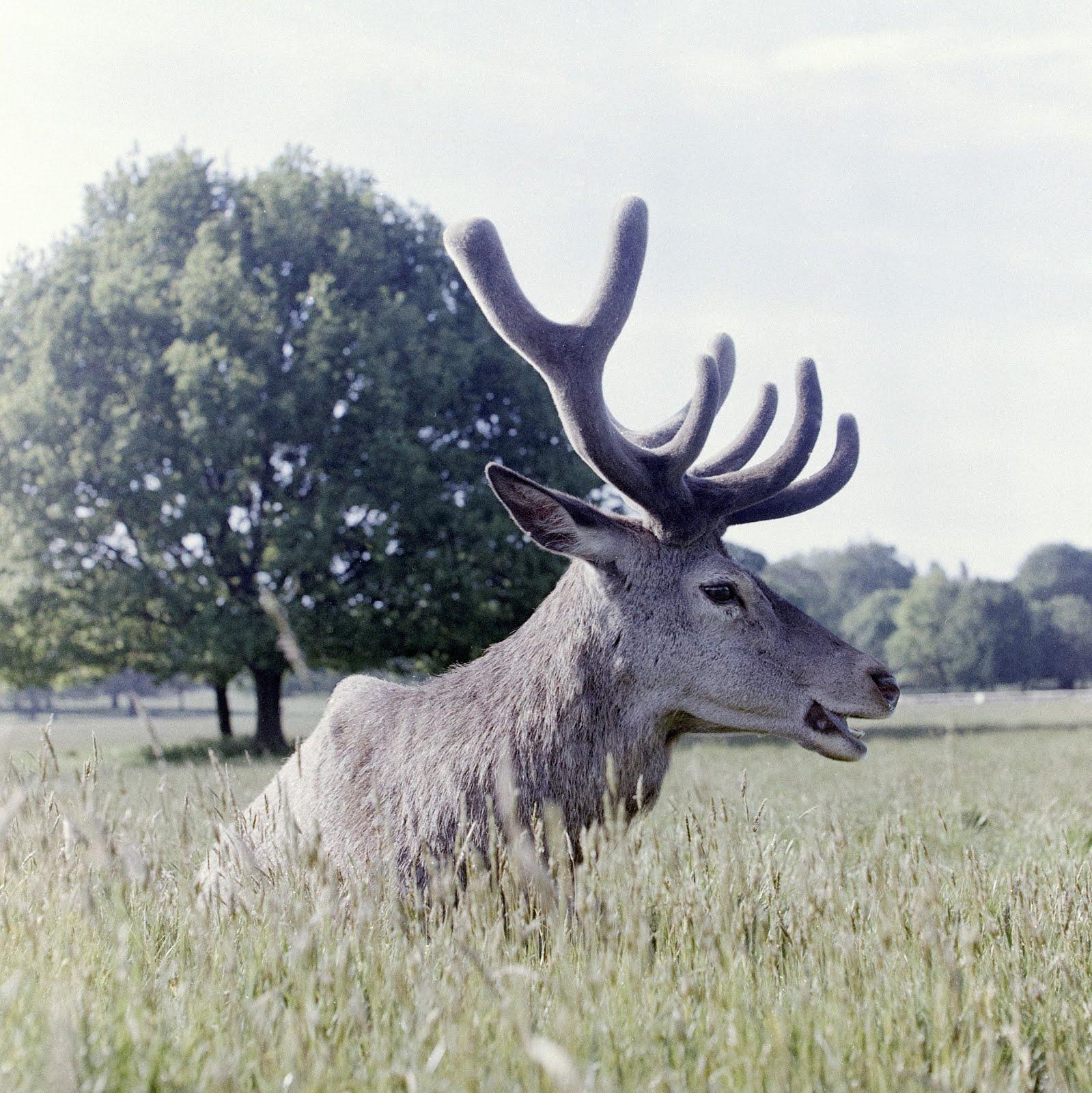 deer taken with lomochrome metropolis 120 film