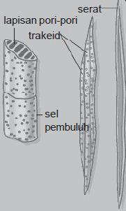 Struktur Xilem