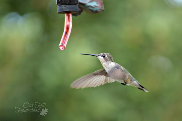 September was memorable for the hummingbirds!