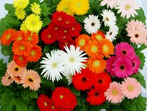 bunga krisan obat mual