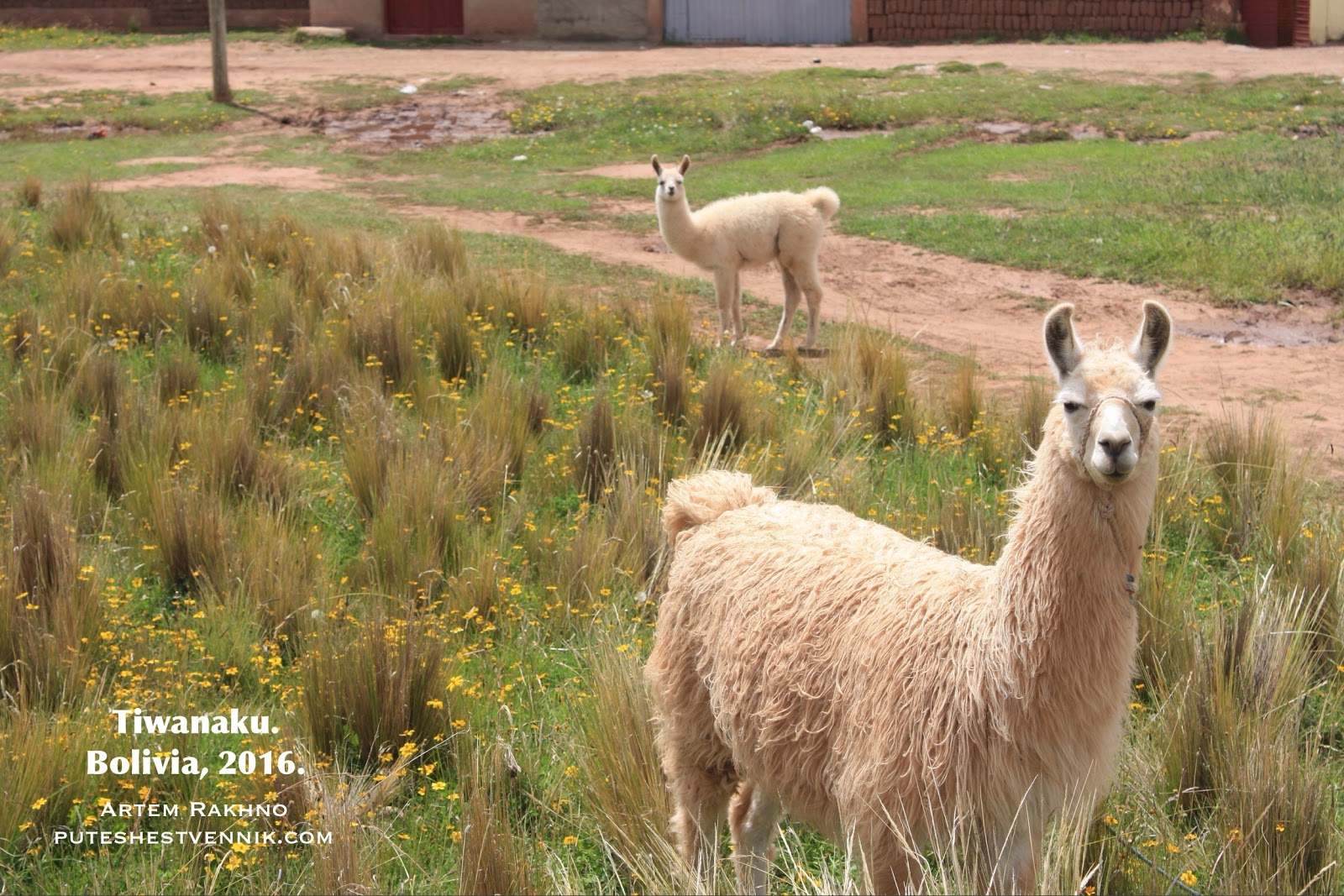 Альпаки в Боливии