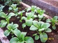 tips sukses budidaya tanaman sayur