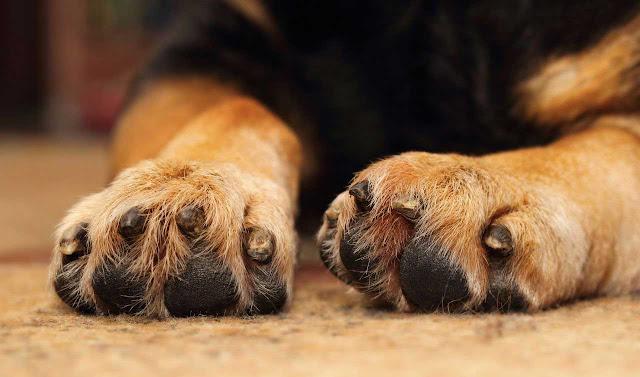 Biện pháp chăm sóc chân tối ưu cho chó