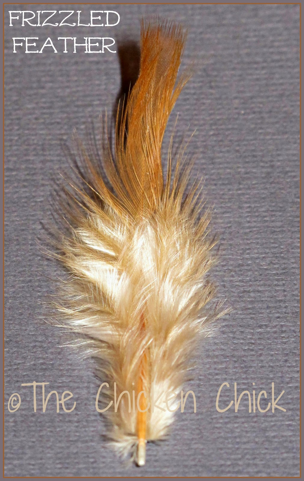 Cochin is her breed, bantam describes her miniature size and frizzle describes her unusual feathers. Genetics cause frizzled feathers to grow out and curl away from the body instead of  growing flat and smooth following the body contour. Frizzle is not a breed, it is a genetically programmed feather type.