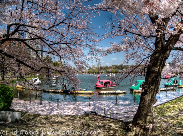 cherry blossoms by a large pond. swan boats on the pond.
