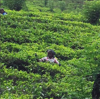Sri Lanka Tea, Tea Plantation, Tea pluckers, Tea pickers