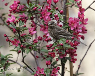 House Finches are  a bird type featured in Patricia Youngquist's book, Words In Our Beak Volume One, available in Apple's iBook's store and on Amazon.